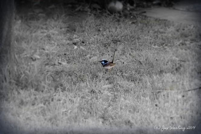 Fairy wren 365